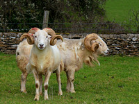 Chavenage Sheep